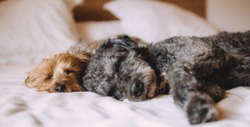 cães a dormir